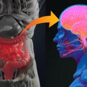 le microbiote intestinal et le cerveau